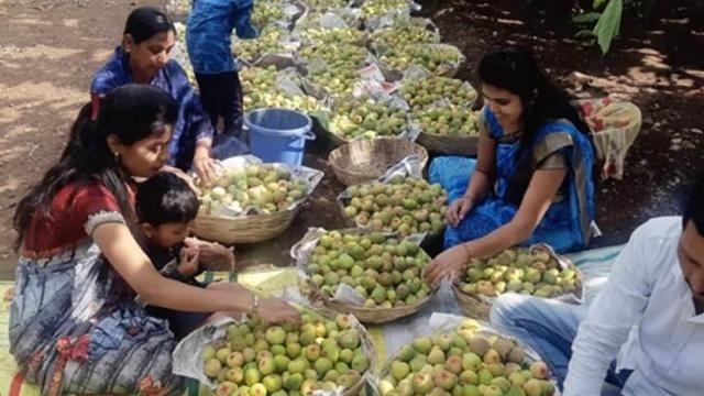 Jagtap family engaged in grading of fig fruits.