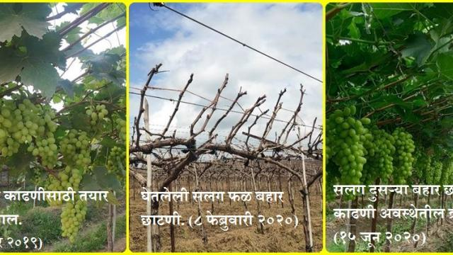 special article on imported variety of Grape AARA 15