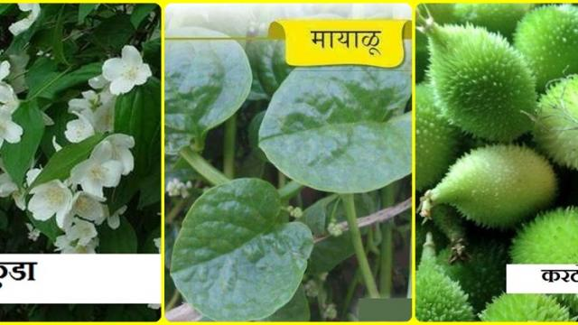 wild vegetables are useful in daily dish