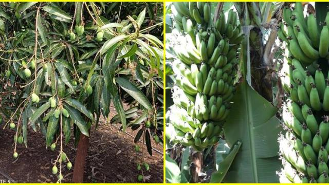 Mango and banana orchards