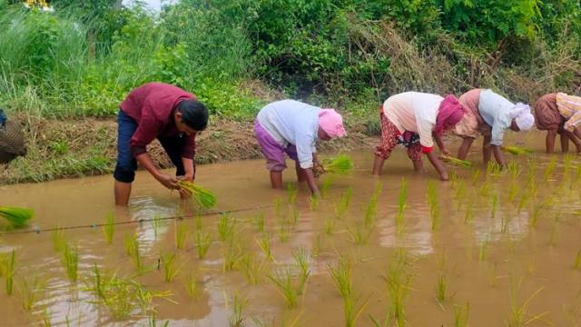 Paddy cultivation by SRI method