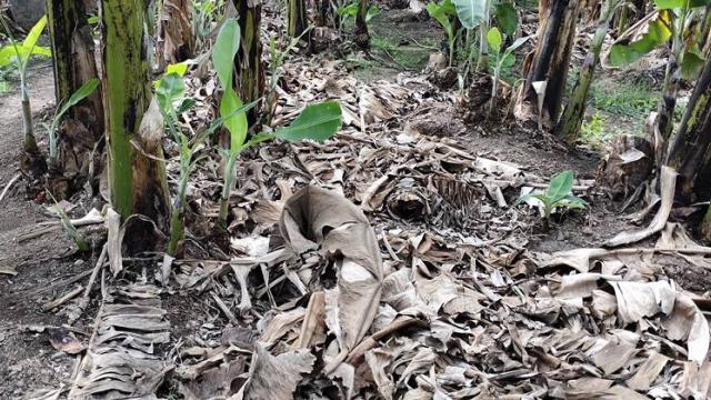 mulch is used in banana orchards as fertilizer