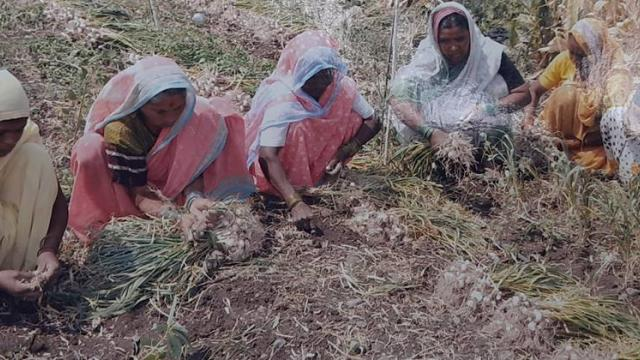 Special care is taken while harvesting garlic from laborers.