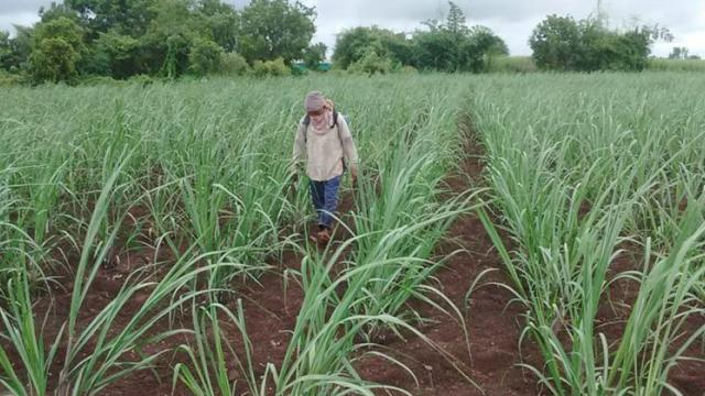 spraying of epn solution in sugarcane