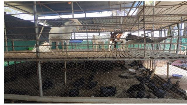 On an experimental basis two bed system arrangements is followed for goats and Chickens