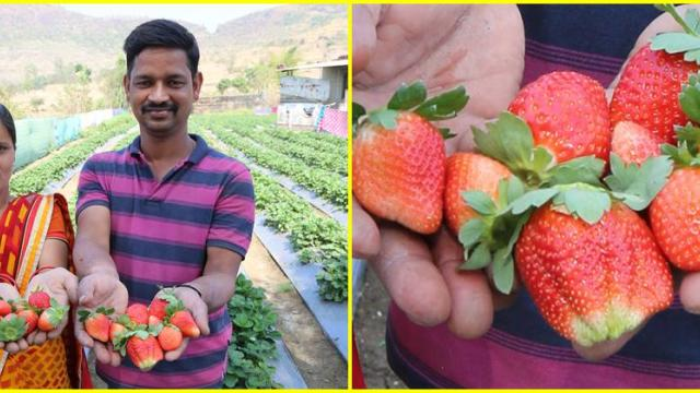 Sheila and Navnath Shelke showing strawberry fruit
