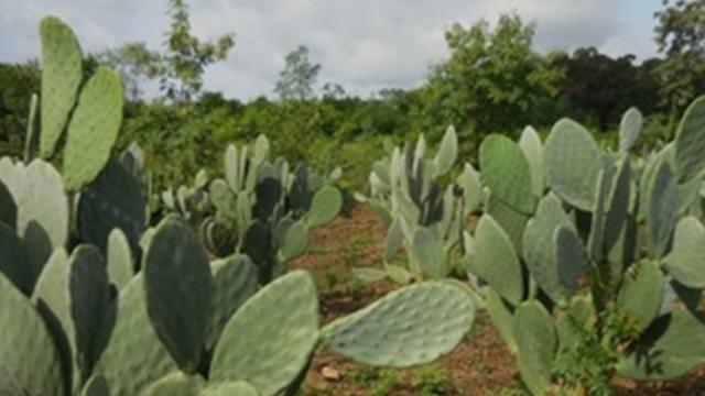 thornless cactus for fodder