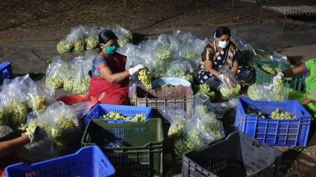 chavan family women helps in grapes packing