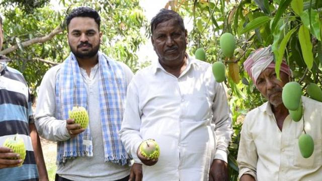 Chavan family producing exportable quality mangoes.