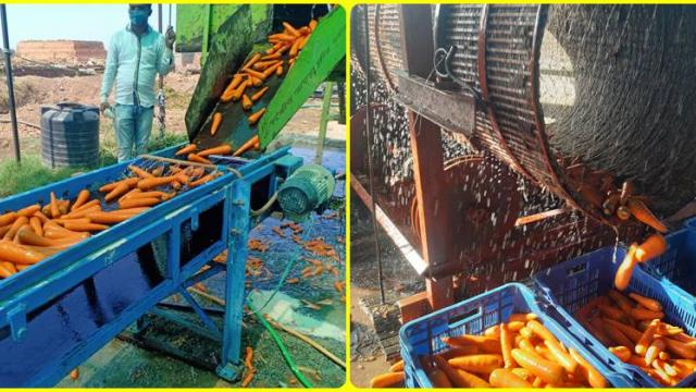 Carrots are cleaned by machine and fall into crates.