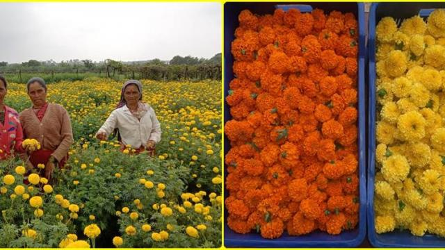 harvesting  of quality flowers