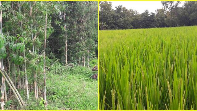 paddy and bamboo farm