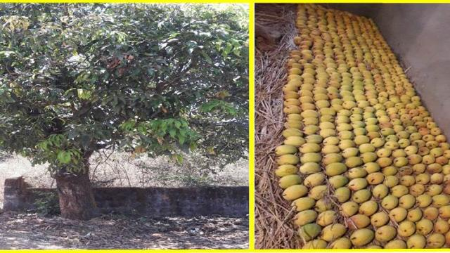 organic methods used for ripening the mangoes