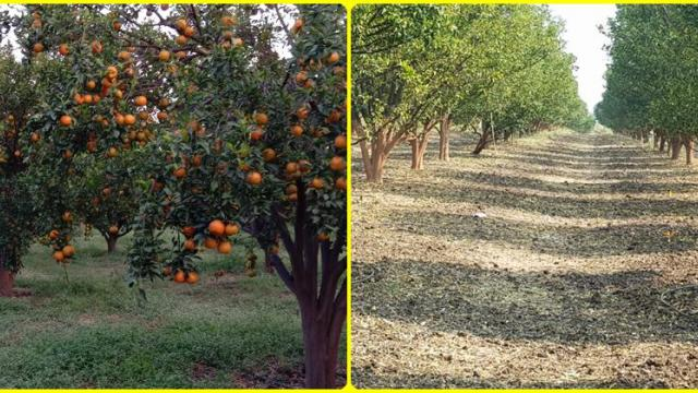 Ramesh Matewar success story, organic solution Orange fruit crop