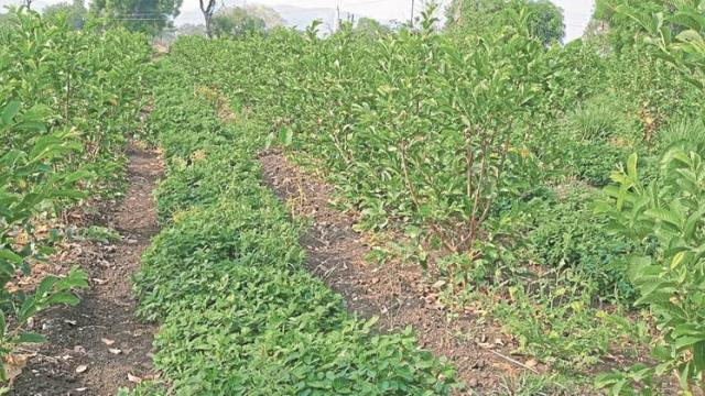 Intercropping of groundnut in guava orchard