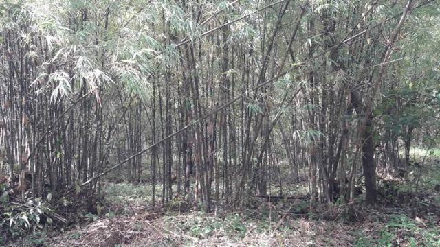 bamboo cultivation