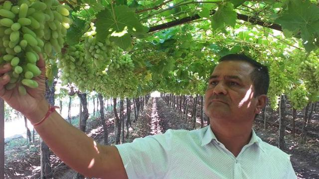 Vinayak Patil while  inspecting the grapes in the garden.