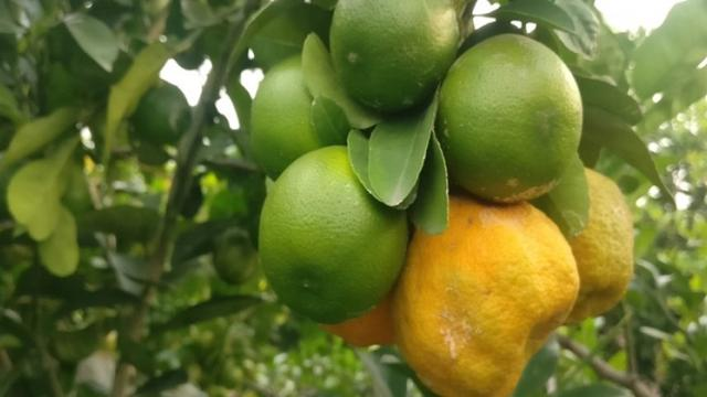sweet orange production by bhagwan pawar in aurangabad district and in madhya pradesh state