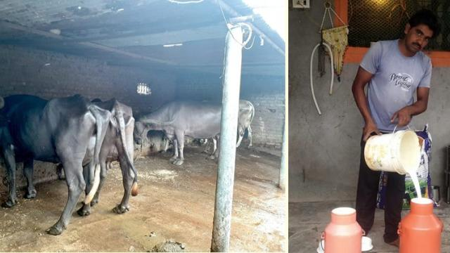 Mahesh Wankhede has maintained continuity in milk production by rearing buffaloes of Murha breed.
