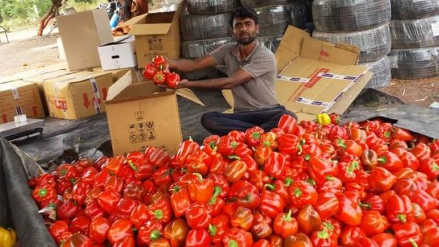 After harvesting the colored chillies are graded, packed in boxes and sent for sale