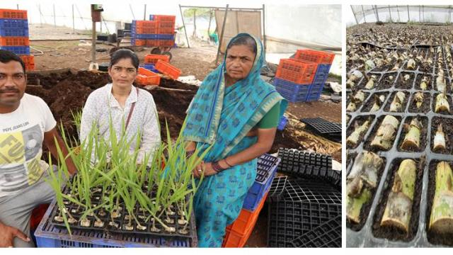 Abhijit Dhumal produces quality sugarcane seedlings with the help of his mother and wife.