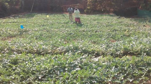 watermelon cultivation done by farmers group