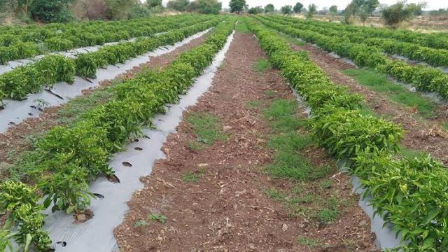 The members of the farmer company take good yields of various vegetable crops.
