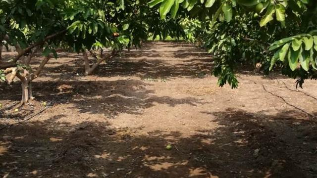 Water management by drip to the guava garden