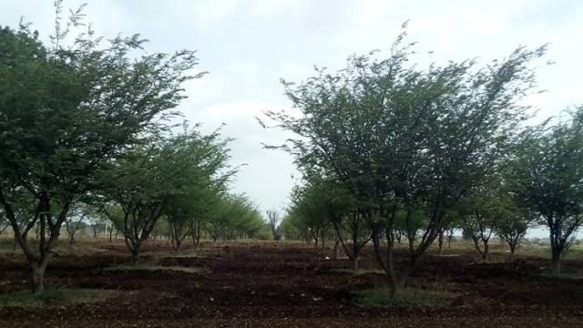 Tamarind cultivation.