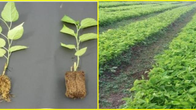 Technology has been made available for nursery, replanting, mulberry varieties and management
