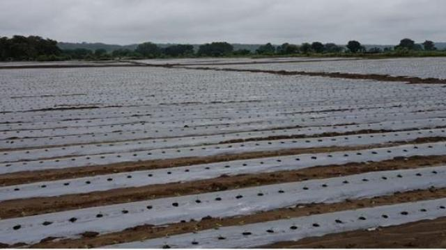 use of mulching and drip irrigation system