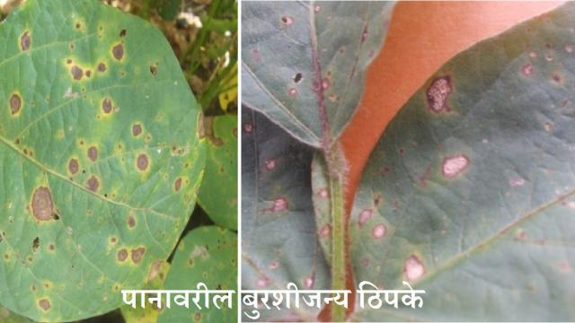 Soybean crop Advice for problems occurred  continuous rain
