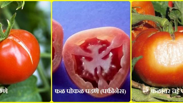 Identify the lesions in tomatoes