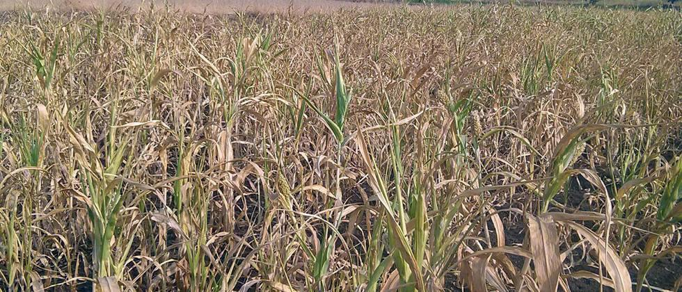 Due to loopholes, crop insurance compensation is far away
