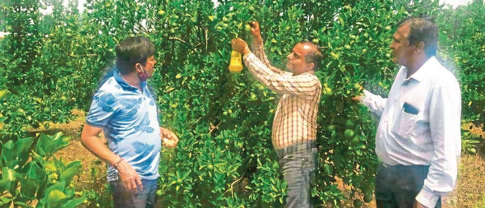 Traps are beneficial for pest control in citrus crop
