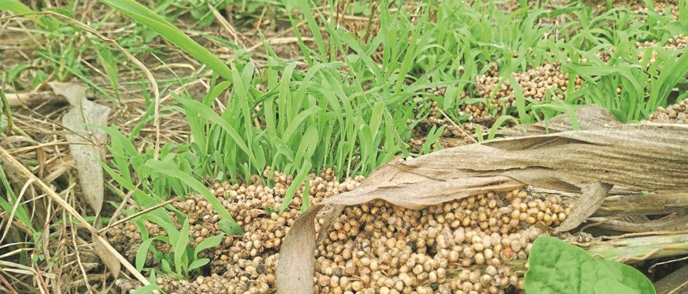 Sprouts sprouted from sorghum grains in Akola