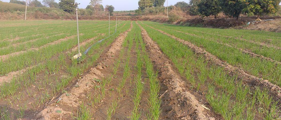 Increase in Rabi maize and wheat sowing area in Nashik