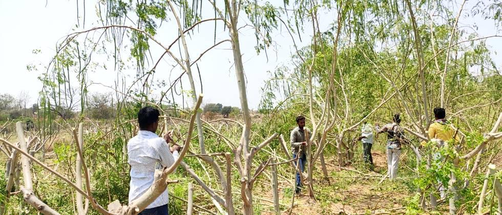 In the Pandharpur area, cutting the Drumastick Gardens