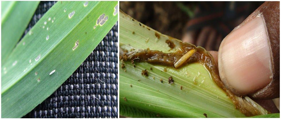 control measures of stem fly in wheat and sorghum