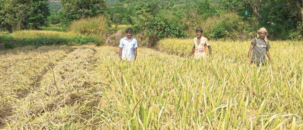 Paddy harvest begins with the onset of rains