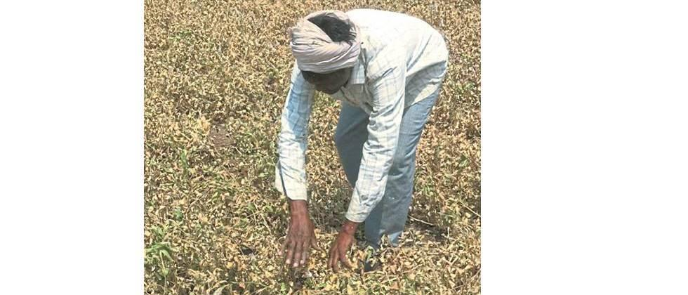Due to lack of water in Jayakwadi, the crops were destroyed