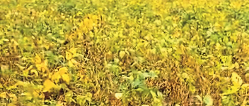 Continuous rains hit soybean seed production
