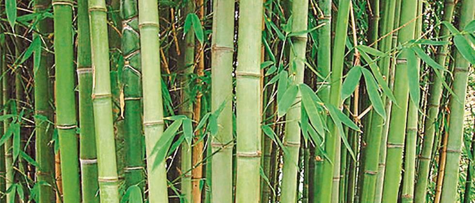 Planting bamboo on fifteen thousand acres