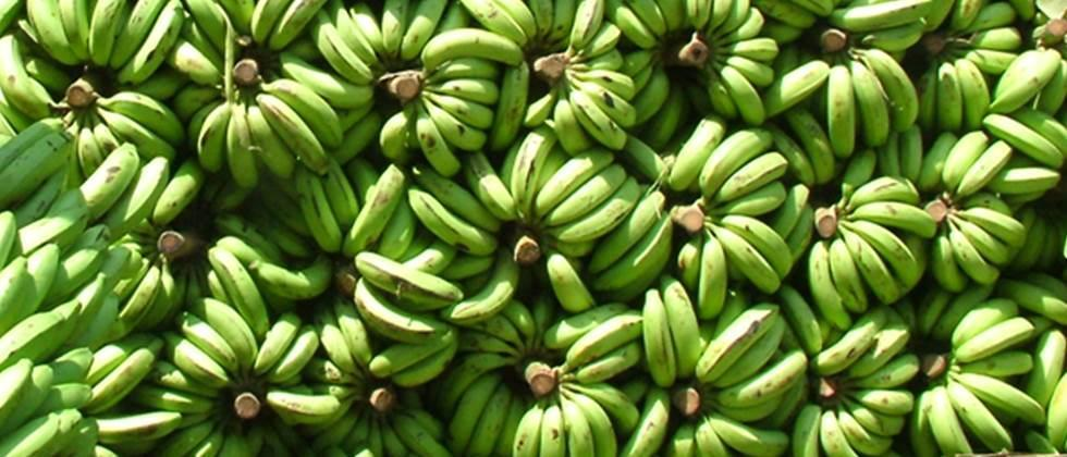 Banana prices improve, shipments to foreign countries continue