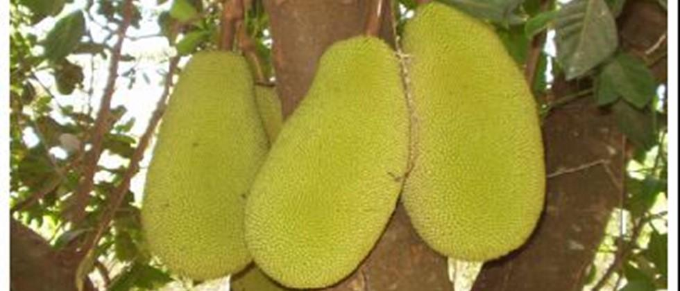 To increase the production of jackfruits