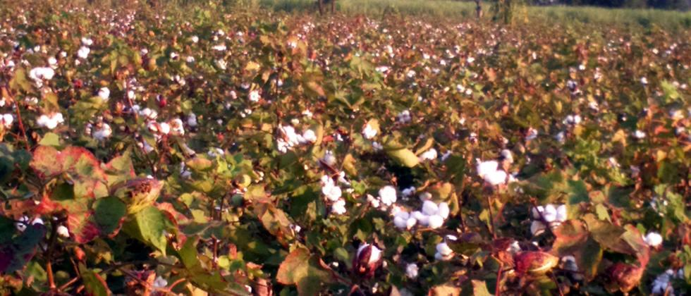 Cost of selling cotton Seven rupees per kg