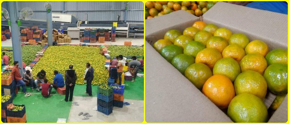 quality oranges are packed in Shramjivi Nagpuri Orange project
