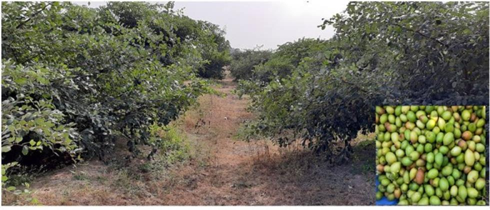 excellent orchard of 200 ber trees