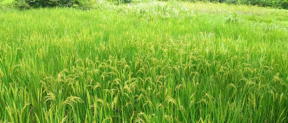 A long-term study has concluded that rice production is declining due to rising temperatures.