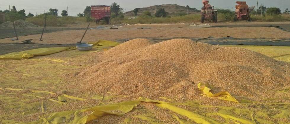 Buying Shivar in Khandesh Maize at the rate of Rs 1300 per quintal
